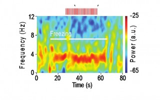 Des oscillations 4-Hz impliquées dans le comportement de peur