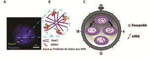 Figure : Structure des paraspeckles et implication fonctionnelle dans l'expression rythmique d'ARNm. A : Visualisation des paraspeckles identifiés par leur constituant principal, le long ARN non-codant, Neat1, à l'intérieur du noyau des cellules coloré en bleu par le colorant de Hoechst. B : Organisation schématique des différents constituants des paraspeckles. C : La rythmicité du nombre de paraspeckles à l'intérieur du noyau permet le contrôle de l'expression des ARNm associés.