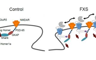Les récepteurs synaptiques mGluR5 en mouvement : fauteurs de troubles dans le syndrome du X fragile