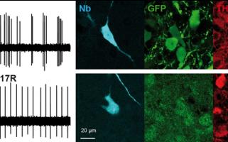UN GÈNE ASSOCIÉ À LA SCHIZOPHRÉNIE CONTRÔLE L'ACTIVITÉ DES NEURONES DOPAMINERGIQUES