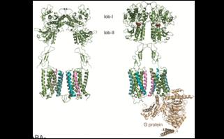 Contrôler l'activité des mGluR avec des nanobodies