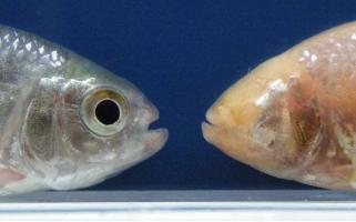 Un même poisson à quelques neurones hypocrétinergiques près