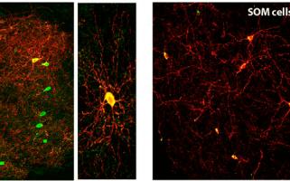 Les interneurones GABAergiques dans le striatum: à chacun son rôle!