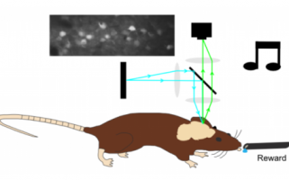 Un point clé de la théorie de l'apprentissage démontré grâce à l'optogénétique