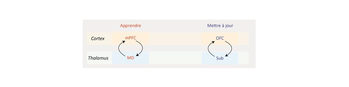 Circuits thalamocorticaux de la prise de décision