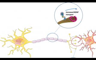 Syndrome de Rett : Lorsque la huntingtine sauve les neurones déficients