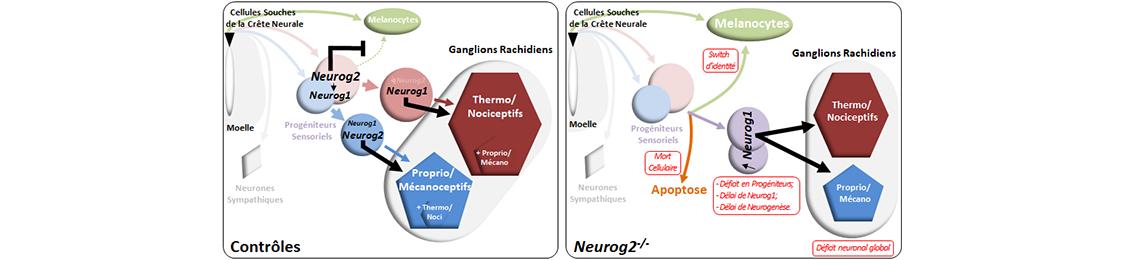 Formation des neurones sensoriels : un processus dynamique finement régulé