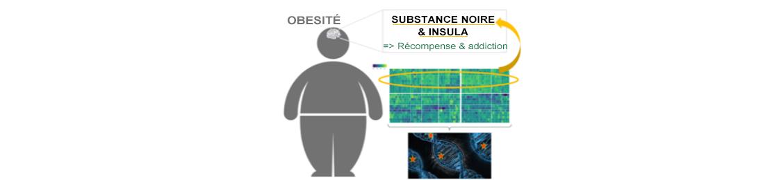 Expression enrichie des gènes de l'obésité dans des régions cérébrales clefs de l'addiction et de la récompense