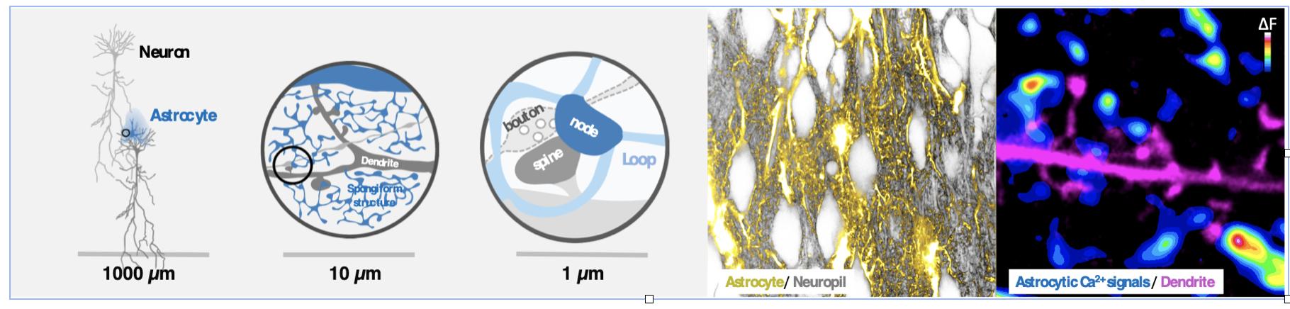 Il faut être trois pour danser le tango : la synapse tripartite révélée par la microscopie superresolutive
