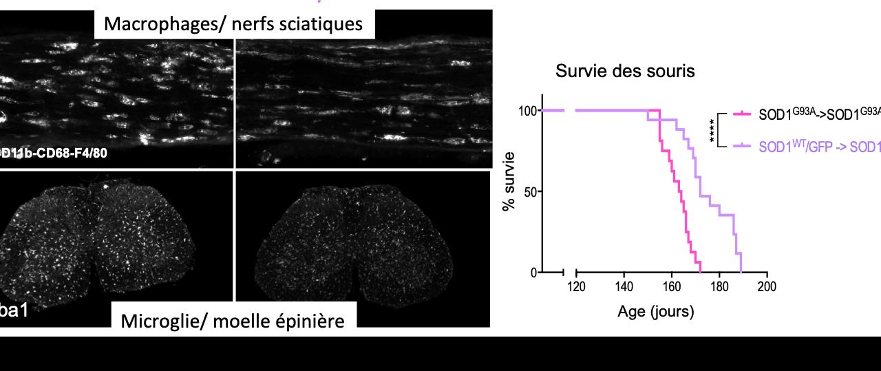 Modifier les macrophages à la périphérie a la capacité de changer la réactivité microgliale et de ralentir la progression de la maladie des souris SLA