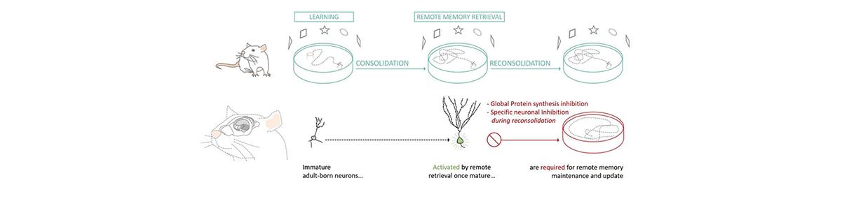 Les neurones générés à l'âge adulte dans l'hippocampe sont indispensables au maintien de la mémoire lors du rappel et de sa mise à jour