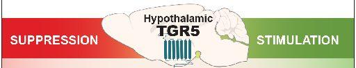 Contrecarrer l'obésité : la voie prometteuse du récepteur hypothalamique TGR5 aux acides biliaires
